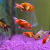 Gloucester: Animal Krackers in Gloucester has been receiving numerous phone calls about how chloramine in the Gloucester water has been killing goldfish. Gloucester residents should use a special water treatment product for their fish. Photo by Kate Glass/Gloucester Daily Times