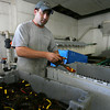 Gloucester: Frankie Ciaramitaro, co-owner of Captain Joe & Sons, Inc., sorts through lobsters yesterday afternoon. They have seen a triple pincher clawed lobster and an albino lobster over the past week, both of which are very rare. Photo by Kate Glass/Gloucester Daily Times