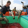 Gloucester: Tom Hill of Rockport unloads cod from his boat, the Karoline Marie, at the Gloucester Seafood Display Auction yesterday morning. Hill says the new regulations have been good for him because his fishing permits allocate a good quantity of fish, but says the regulations are difficult for fishermen who do not have a good permit history. Photo by Kate Glass/Gloucester Daily Times