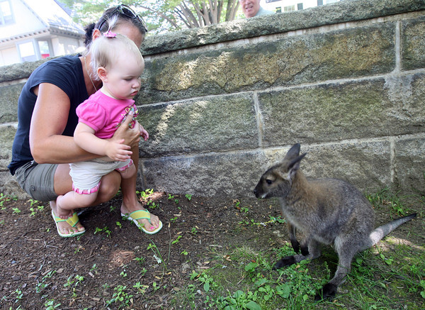 Adeline Amero, 1, and her mom, Jillian, get a close look at a wallaby during a Creature Teachers program at the Manchester Public Library featuring Australian animals yesterday morning. Photo by Kate Glass/Gloucester Daily Times