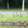 ALLEGRA BOVERMAN/Staff photo. Gloucester Daily Times. Manchester: Supat Sripongsai of Manchester ran over with feed to lure a large flock of Canada geese that were trying to cross busy Summer Street on Thursday afternoon. He has geese at his own house across the street and was feeding them, some visiting Mallard ducks and other birds, too.