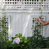 ALLEGRA BOVERMAN/Staff photo. Gloucester Daily Times.Rockport: Carol Delaney of 6 Norwood Avenue in Rockport waters and tends to her garden on Thursday. Her gardens are on the Coastal Gardens tour on Friday and Satuday in Rockport.