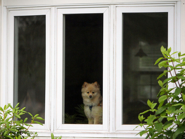 ALLEGRA BOVERMAN/Staff photo. Gloucester Daily Times. Gloucester: A dog looks out from its front window on Apple Street on Wednesday.