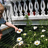 ALLEGRA BOVERMAN/Staff photo. Gloucester Daily Times. Rockport: Logan Fay, 10 months old, loves touching flowers at the home of his grandmother, Carol Delaney, of Rockport.