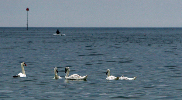 ALLEGRA BOVERMAN/Staff photo. Gloucester Daily Times. Rockport: Five of a seven-swan family are seen relaxing in the waters off Front Beach on Friday.