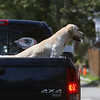 ALLEGRA BOVERMAN/Staff photo. Gloucester Daily Times. Gloucester: One of two dogs in the back of this pickup truck were happily taking in the views while traveling slowly down Washington Street in heavy traffic on Monday afternoon.