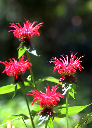 ALLEGRA BOVERMAN/Staff photo. Gloucester Daily Times. Rockport: Bee Balm at the garden of Carol Delaney of 6 Norwood Avenue in Rockport. Her gardens are on the Coastal Gardens tour on Friday and Satuday in Rockport.