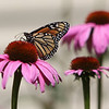 "ALLEGRA BOVERMAN/Staff photo. Gloucester Daily Times. Rockport: A butterfly alights on flowers in the garden of Nan Blue of 14 Eden Road in Rockport. Her garden is part of the Rockport Garden Club's ""Coastal Gardens Tour"" on Friday and Saturday in Rockport."