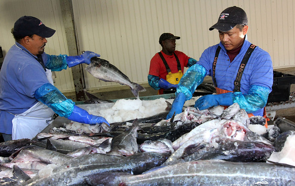 ALLEGRA BOVERMAN/Staff photo. Gloucester Daily Times. Gloucester: Cape Ann Seafood Exchange employees sort pollack landed by the Miss Trish on Tuesday. From left are Jose Batista, Clemente Mejia and Hugo Lima.