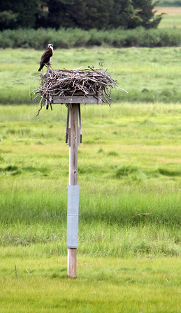 ALLEGRA BOVERMAN/Staff photo. Gloucester Daily Times. Essex: One of the ospreys who call the Essex County Greenbelt's Cox Reservation and Headquarters in Essex perches on the nest. Another was nearby.