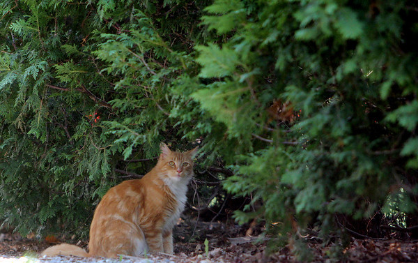 ALLEGRA BOVERMAN/Staff photo. Gloucester Daily Times. Essex: A cat takes shelter from the oppressive heat and sun under evergreens along Martin Street.