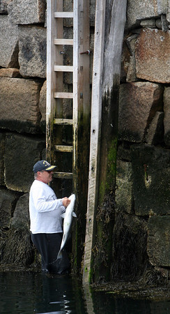 ALLEGRA BOVERMAN/Staff photo. Gloucester Daily Times. Rockport: Dan Tusinski of Rockport unhooks a 31-inch striped bass he caught while fishing right at Motif No. 1 on Friday afternoon in Rockport. He will eat it tomorrow; he catches one every two weeks.