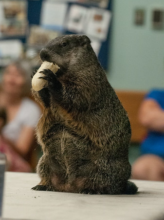 DESI SMITH/Staff photo.  A woodchuck eats a banana  during a live animal program by Richard Roth of Creature Teachers, Monday afternoon at the Sawyer Free Library .<br />   July 7,2014