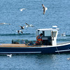 RYAN HUTTON/ Staff photo.<br /> A lobster boat off of Bearskin Neck in Rockport attracts a swarm of seagulls on Wednesday.