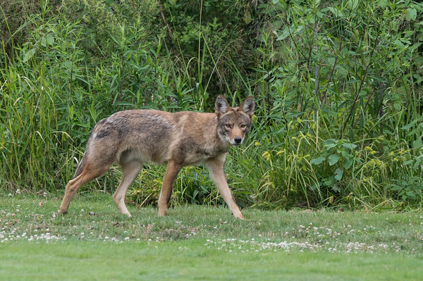 DESI SMITH/Staff photo.   A coyote looks over at some golfers while hunting rabbits Sunday morning at Bass Rocks Golf Club.    July 20,2014