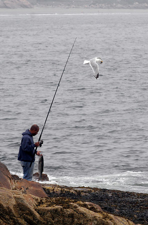Gloucester: A seagull flies around David Curran of Gloucester as he searches for a tide pool along the Back Shore to keep a 29 inch striped bass that he caught yesterday morning. Photo by Kate Glass/Gloucester Daily Times Tuesday, June 30, 2009