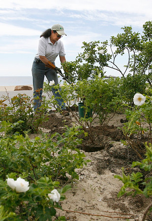 Manchester: Sandy O'Brien of O'Brien's Landscape & Tree plants white beach roses in the traffic circle at Singing Beach yesterday morning. Photo by Kate Glass/Gloucester Daily Times Wednesday, June 3, 2009