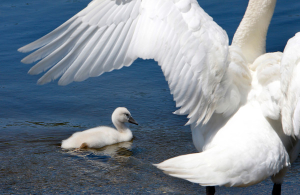 Rockport: A cygnet swims past his mother at Henry's Pond in Rockport Thursday afternoon.  Both mother and father joined their baby swan for a cruise around the pond. Mary Muckenhoupt/Gloucester Daily Times