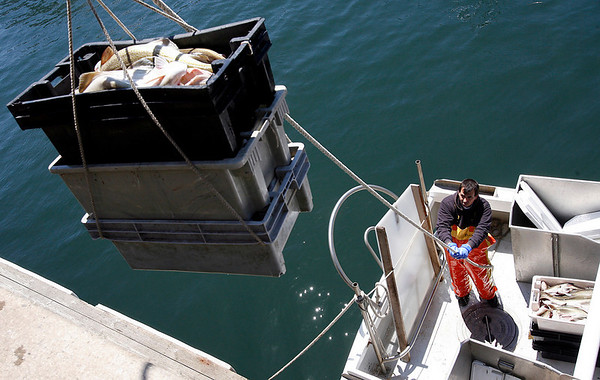 Gloucester: Mark Lodge unloads cod from Peter Libro's boat, Dolores J, at the Gloucester Seafood Display Auction yesterday. Yesterday was the first day of the fishing season for dayboats. Photo by Kate Glass/Gloucester Daily Times Monday, June 1, 2009