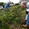 Rockport: Sue Morris, left, Dick Morris, center, and Seth Cutter, right, prune rose bushes at Old Garden Beach on Saturday. A dozen volunteers helped maintain the gardens and walking path as well as replace the fence and damaged rose bushes. Photo by Kate Glass/Gloucester Daily Times Saturday, June 6, 2009