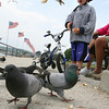 """Gloucester: Brody Duncan, 3, drops pieces of bread for the pigeons along Stacy Boulevard yesterday afternoon while out with his grandparents, Bob and Bonnie Duncan of Magnolia. """"I've been saving bread for weeks,"""" Bonnie said. """"He loves to come here to play with the birds."""" Photo by Kate Glass/Gloucester Daily Times"""