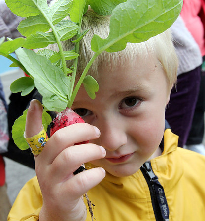 ALLEGRA BOVERMAN/Staff photo. Gloucester Daily Times. Gloucester: During the Tuesday session of the East Gloucester Elementary School Garden Club, Sean Buckley, 4, picks a radish. The club just got underway and will continue into the fall. Students in each class of the school planted seeds in the beds that were donated by The Food Project, and the club members are tending and harvesting them.