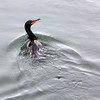 ALLEGRA BOVERMAN/Staff photo. Gloucester Daily Times. Gloucester: A cormorant surfaces near the Cut Bridge in Gloucester.