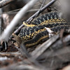 ALLEGRA BOVERMAN/Staff photo. Essex: A garter snake rests on a beaver dam along the trails in the Manchester Woods.
