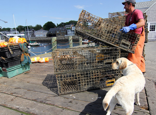 Photo courtesy of David Cutler/Gloucester Daily Times. Rockport: Bob Beloff, Jr., of Rockport stacks lobster traps he and his father Bob Beloff, Sr., brought in to repair and switch out at T-Wharf on Thursday afternoon. Zoe, a one-year-old lab belonging to Mark Littlefield of Rockport, looks on.