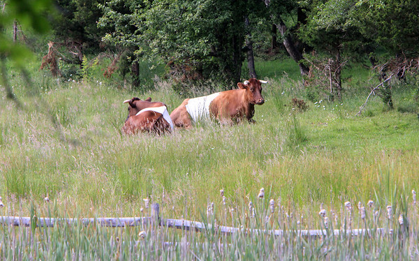 ALLEGRA BOVERMAN/Staff photo. Gloucester Daily Times. Essex: Cattle relax in a farm's field along Eastern Avenue in Essex on Monday afternoon.