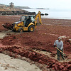 Gail McCarthy/Staff photo. Gloucester Daily Times. Rockport: A Rockport public works crew went out to Front Beach yesterday morning to help clean up the downtown beach that was fully blanketed from one end to the other with red seaweed that prompted many passers-by to stop and take a glimpse.