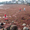 Gail McCarthy/Staff photographer/Gloucester Daily Times. Rockport: A Rockport public works crew went out to Front Beach on June 6 to help clean up the downtown beach that was fully blanketed from one end to the other with red seaweed that prompted many passers-by to stop and take a glimpse. Also Carolyn McWilliams, a Rockport Middle School eighth grade science teacher, lower left, was helping because she was holding a research workshop for her students there later that morning.