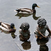 ALLEGRA BOVERMAN/Staff photo. Gloucester Daily Times. Gloucester: Mallard ducks inspect two little statues in the water behind the Gloucester Stage Company.