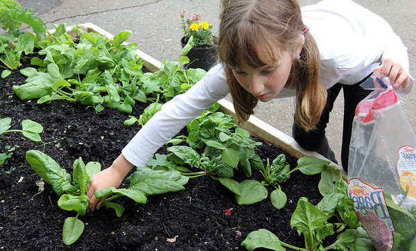 ALLEGRA BOVERMAN/Staff photo. Gloucester Daily Times. Gloucester: During the Tuesday session of the East Gloucester Elementary School Garden Club, third grader Ella Crudele picks spinach. The club is new and will continue next year. Students in each class planted seeds in the beds donated by The Food Project and the club members maintain and harvest them.
