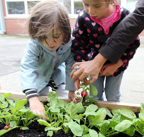 """ALLEGRA BOVERMAN/Staff photo. Gloucester Daily Times. Gloucester: During the Tuesday session of the East Gloucester Elementary School Garden Club, Frieda Davis, left, and Esme Sarrouf, both 3, pick radishes from the school's new raised garden beds that are in the school's """"garden courtyard."""" The club, which is new, just got underway and will continue into the fall. Students in each class of the school planted seeds in the beds, donated by The Food Project, and now the Garden Club members are tending and harvesting them."""
