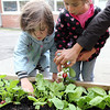 "ALLEGRA BOVERMAN/Staff photo. Gloucester Daily Times. Gloucester: During the Tuesday session of the East Gloucester Elementary School Garden Club, Frieda Davis, left, and Esme Sarrouf, both 3, pick radishes from the school's new raised garden beds that are in the school's ""garden courtyard."" The club, which is new, just got underway and will continue into the fall. Students in each class of the school planted seeds in the beds, donated by The Food Project, and now the Garden Club members are tending and harvesting them."