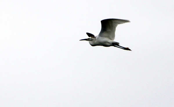 ALLEGRA BOVERMAN/Staff photo. Gloucester Daily Times. Essex: An egret in flight on Tuesday afternoon over a salt marsh in Essex.