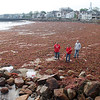 Gail McCarthy/Staff photographer/Gloucester Daily Times. Rockport: A Rockport public works crew went out to Front Beach on June 6 to help clean up the downtown beach that was fully blanketed from one end to the other with red seaweed that prompted many passers-by to stop and take a glimpse. Also Carolyn McWilliams, center, a Rockport Middle School eighth grade science teacher, was helping because she was holding a research workshop for her students there later that morning.