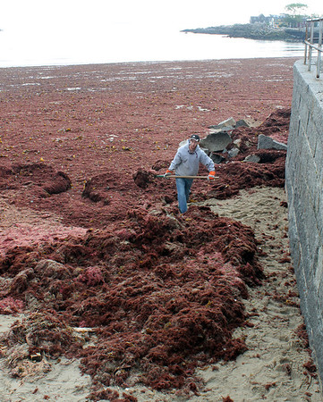 Gail McCarthy/Staff photographer/Gloucester Daily Times. Rockport: A Rockport public works crew went out to Front Beach on June 6 to help clean up the downtown beach that was fully blanketed from one end to the other with red seaweed that prompted many passers-by to stop and take a glimpse.