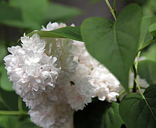 130528_GT_ABO_LILAC