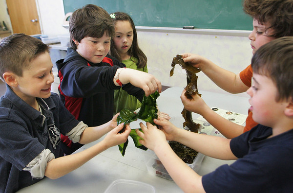 Rockport: From left, Hayden Beaton, Austin Waalewyn, Ariana Bouchie, Michael Kobrosky and Preston Mattson, all first and second graders, look at seaweed in a science room at Rockport Elementary School Thursday morning.  Mary Kay Taylor from the Gloucester Maritime Heritage Center came to talk about invasive species found in the ocean like seaweed and periwinkles. Mary Muckenhoupt/Gloucester Daily Times
