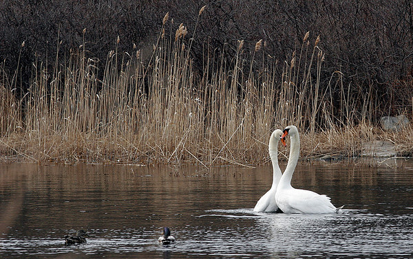 Rockport: Two swans nuzzle while swimming in Henry's Pond near Pebble Beach. Photo by Kate Glass/Gloucester Daily Times Wednesday, March 18, 2009