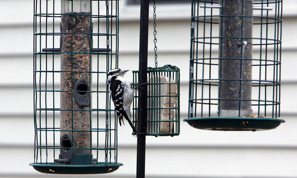 Manchester: A woodpecker enjoys a snack at a bird feeder on Knight Circle in Manchester Thursday afternoon. Mary Muckenhoupt/Gloucester Daily Times