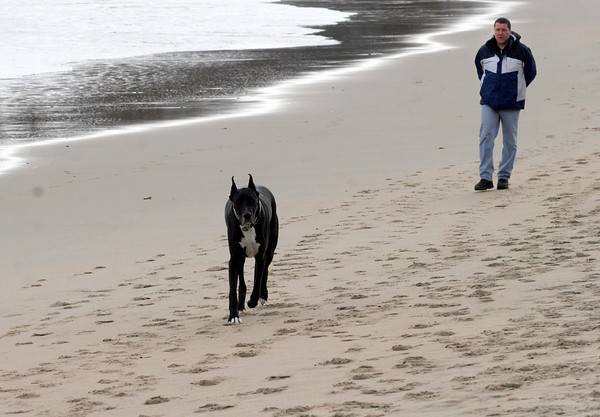 Manchester: Paul Ritchie walks his dog, Zeus, a Great Dane, along Singing Beach yesterday afternoon. Although one large tree fell along the wooded section of the beach, it escaped major damage from the storm. Photo by Kate Glass/Gloucester Daily Times
