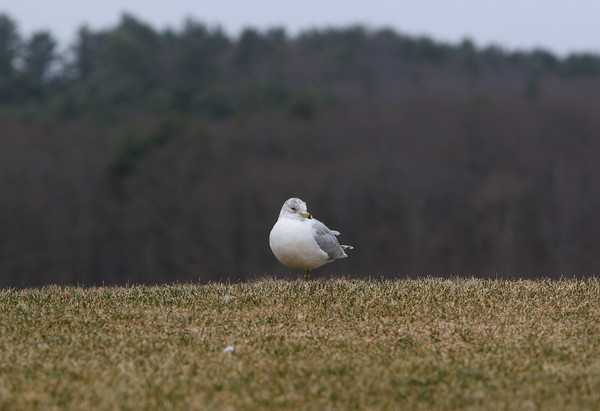 Essex: A Seagul stands on one leg to keep warm while standing in the wind behind Woodman's Restaurant Saturday afternoon. By keeping one leg up in his feathers the bird is able to stay significaly warmer. Mary Muckenhoupt/Gloucester Daily Times