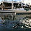 Gloucester: A harbor porpoise opens its blowhole to take in air as it swims in the water behind Beacon Marine. Photo by Kate Glass/Gloucester Daily Times