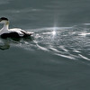 ALLEGRA BOVERMAN/Staff photo. Gloucester Daily Times. Gloucester: A male eider duck swims in the inner harbor in Gloucester on a sunny Friday afternoon.