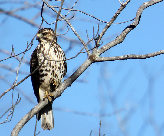 ALLEGRA BOVERMAN/Staff photo. Gloucester Daily Times. Rockport: A hawk keeps its eyes peeled for prey along Nugent Stretch in Rockport on Tuesday.