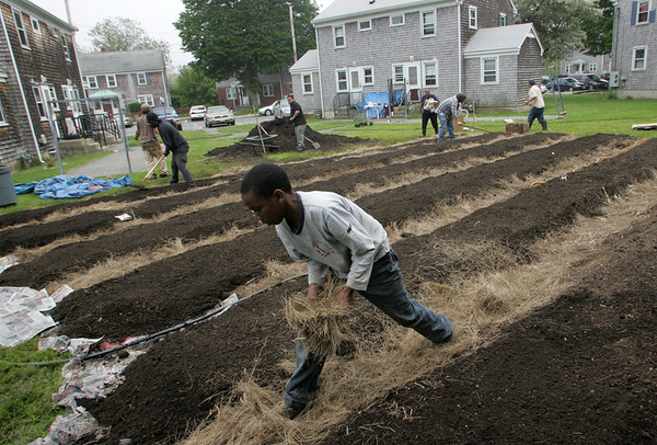Gloucester: Luidwin Amaga, 12, lays down some hay while working on a sustainable garden at Riverdale Park Saturday afternoon.  This garden has been a vision for the community for three years and now that the garden was approved by the Housing Authority Riverdale park will have an abundance of fresh fruits and vegetables. Mary Muckenhoupt/Gloucester Daily Times