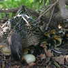 Manchester: A mother duck keeps her babies close by while protecting her one unhatched egg under a rhododrendron bush in the court yeard of Manchester Essex High School Friday afternoon. This is the third year the duck has returned to have her ducklings at the school.  Mary Muckenhoupt/Gloucester Daily Times